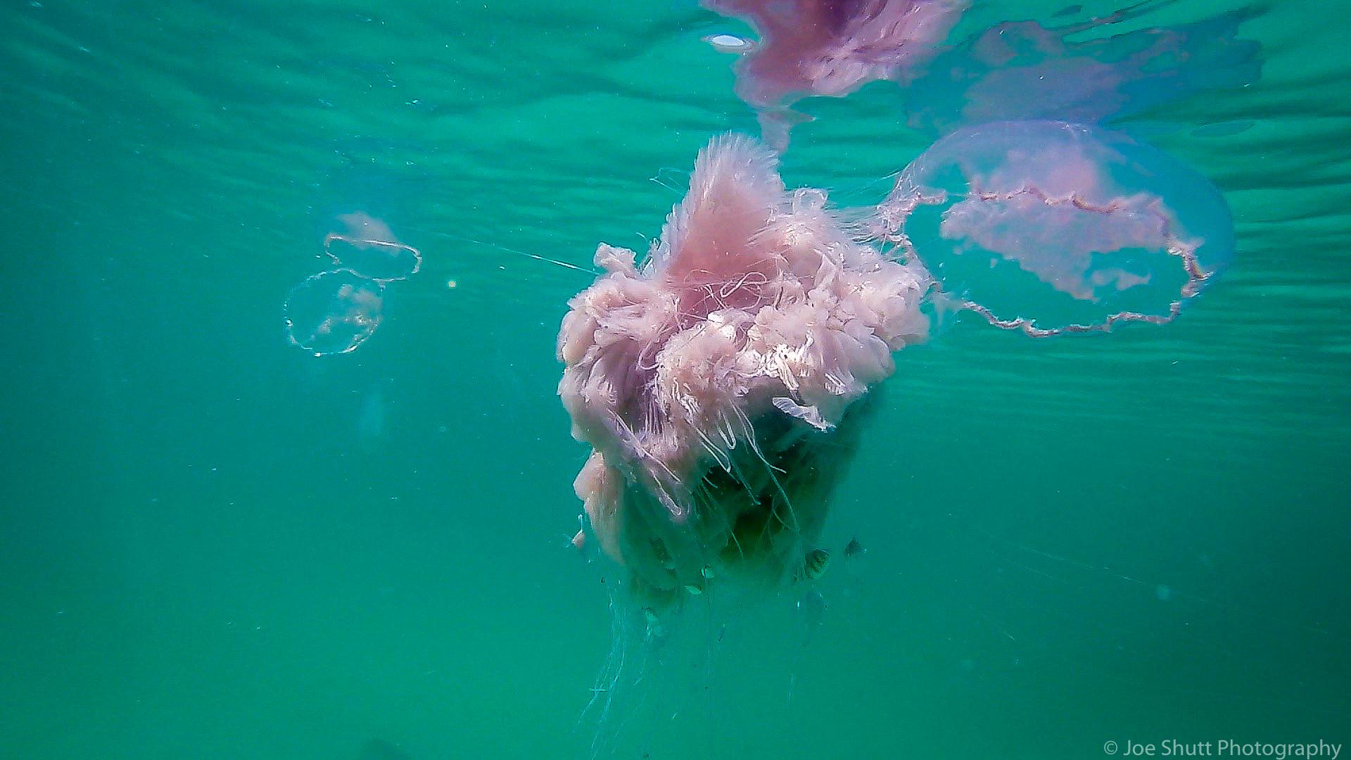 Jellyfish_2016-85