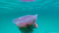 Jellyfish_2016-31