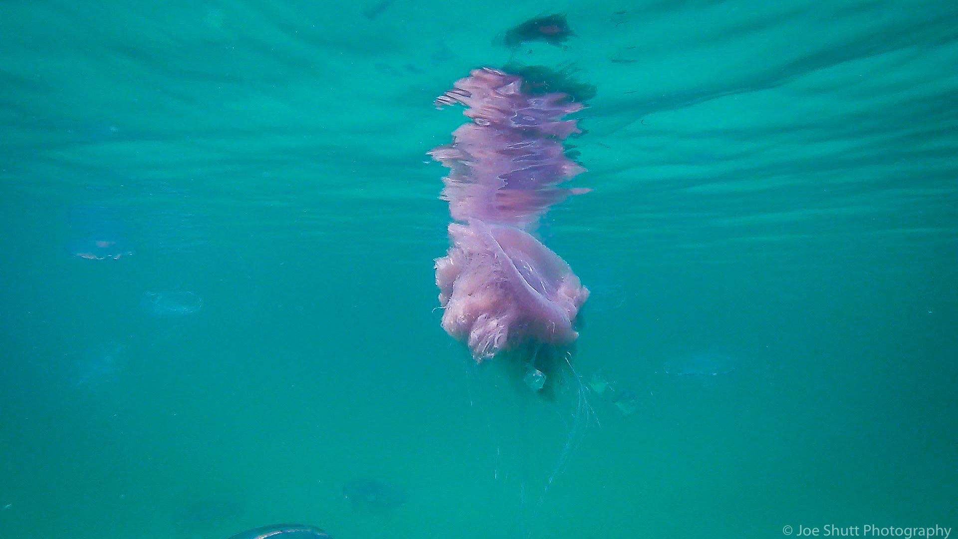 Jellyfish_2016-94