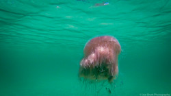 Jellyfish_2016-24