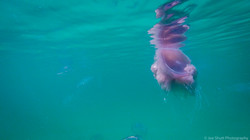 Jellyfish_2016-92