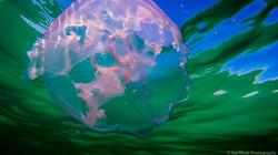 Jellyfish_2016-143