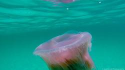 Jellyfish_2016-30