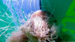 Jellyfish_2016-21
