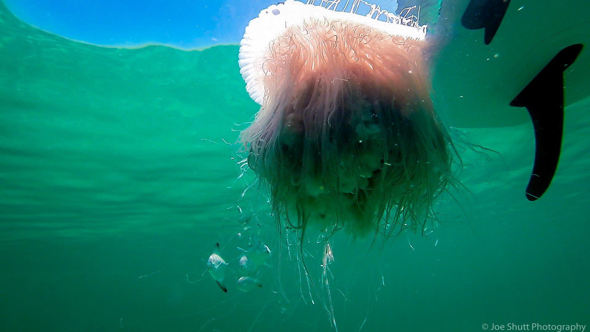 Jellyfish_2016-7