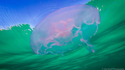 Jellyfish_2016-139