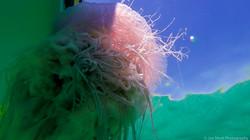Jellyfish_2016-5