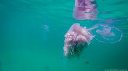 Jellyfish_2016-88
