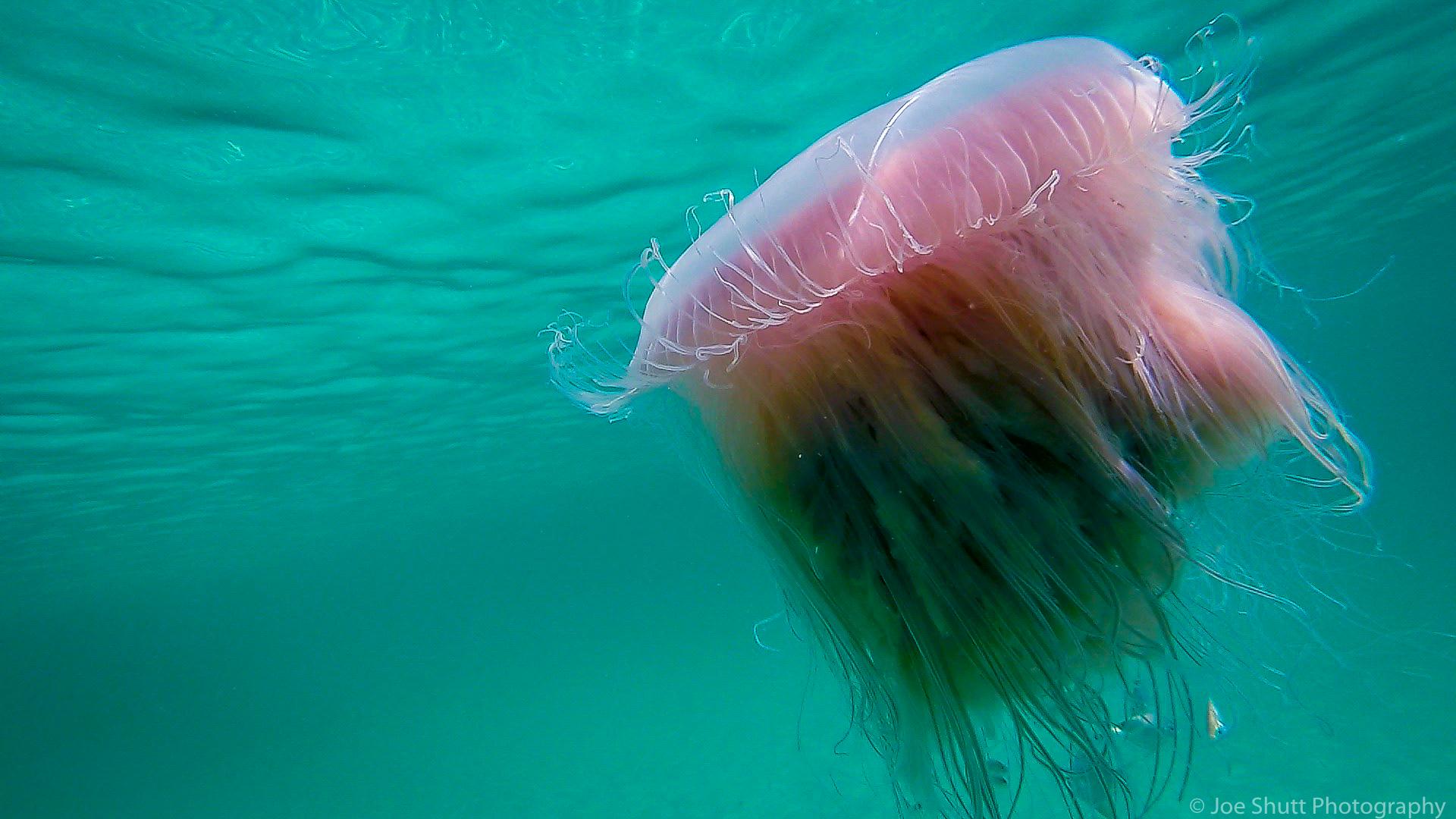 Jellyfish_2016-32