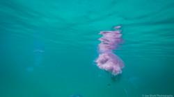 Jellyfish_2016-95
