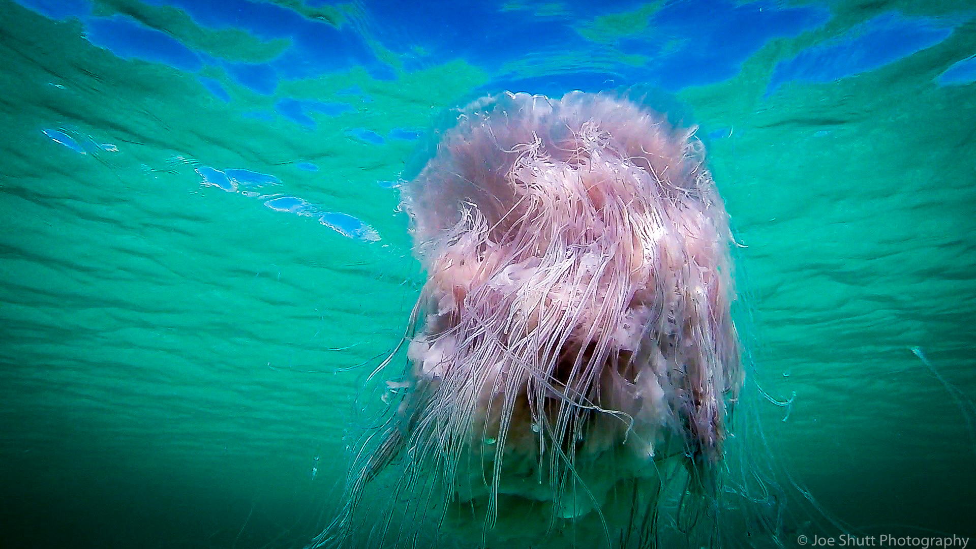 Jellyfish_2016-27