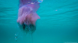 Jellyfish_2016-51