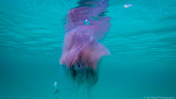 Jellyfish_2016-52