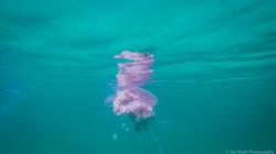 Jellyfish_2016-96