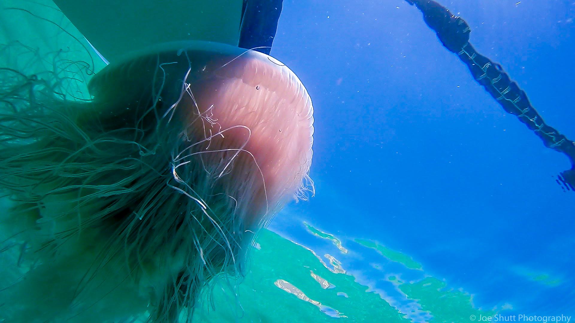 Jellyfish_2016-19