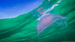 Jellyfish_2016-138