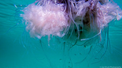 Jellyfish_2016-42