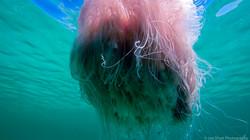 Jellyfish_2016-35