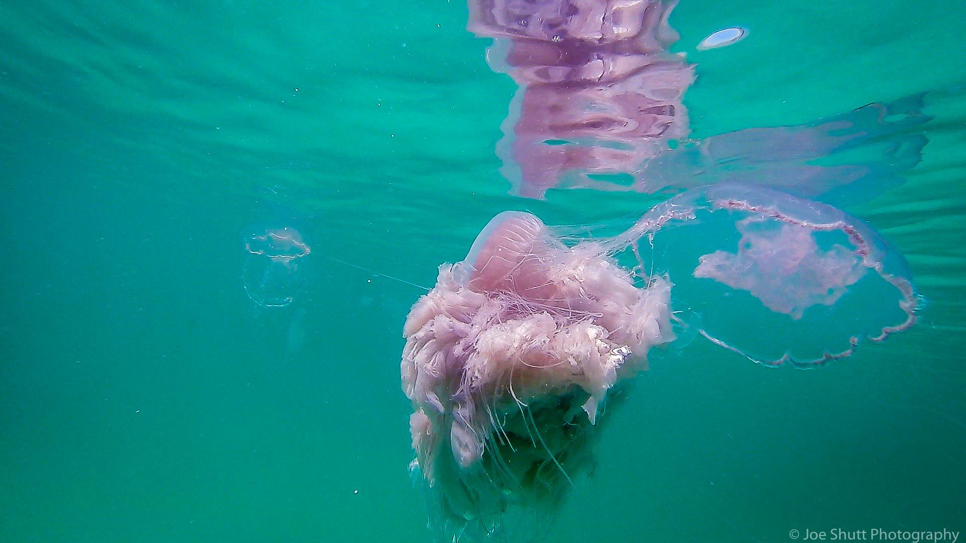 Jellyfish_2016-86