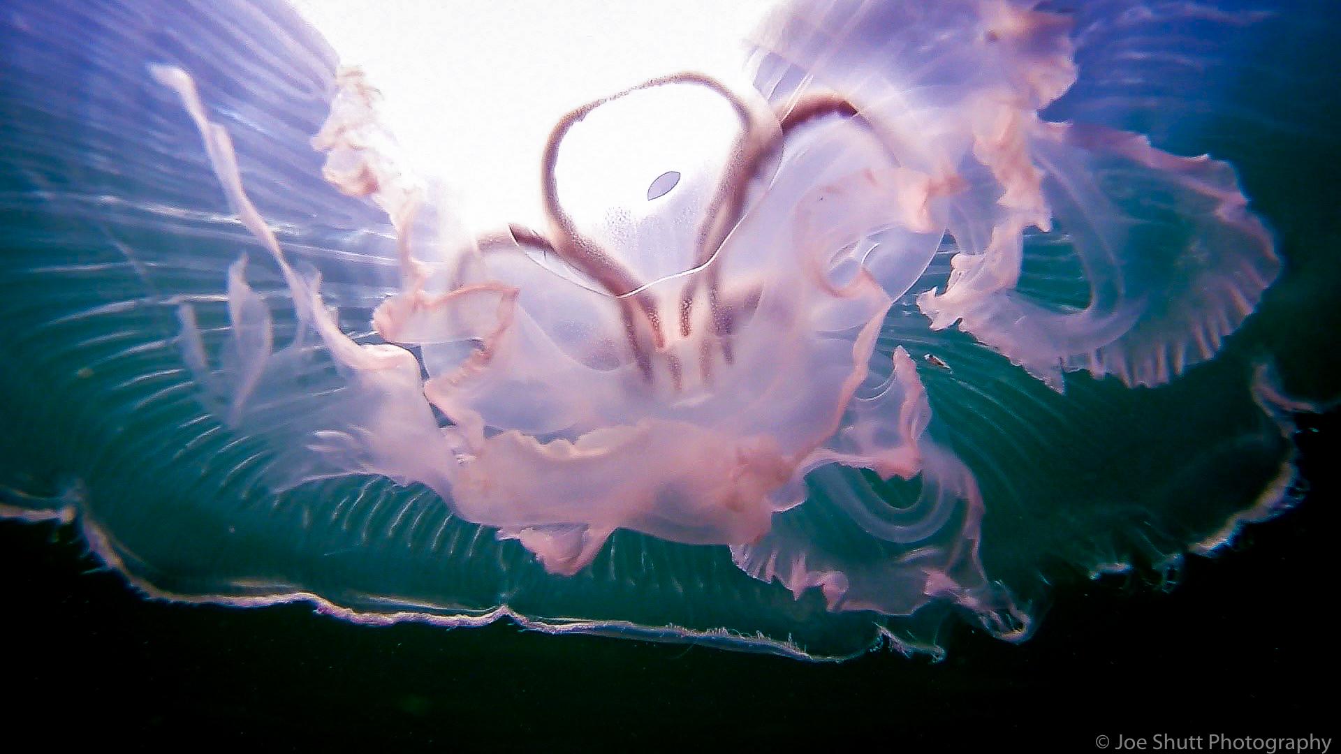 Jellyfish_2016-131