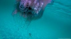 Jellyfish_2016-40