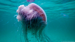 Jellyfish_2016-72