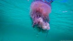 Jellyfish_2016-65