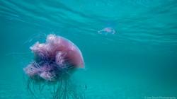 Jellyfish_2016-80