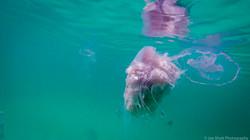 Jellyfish_2016-87