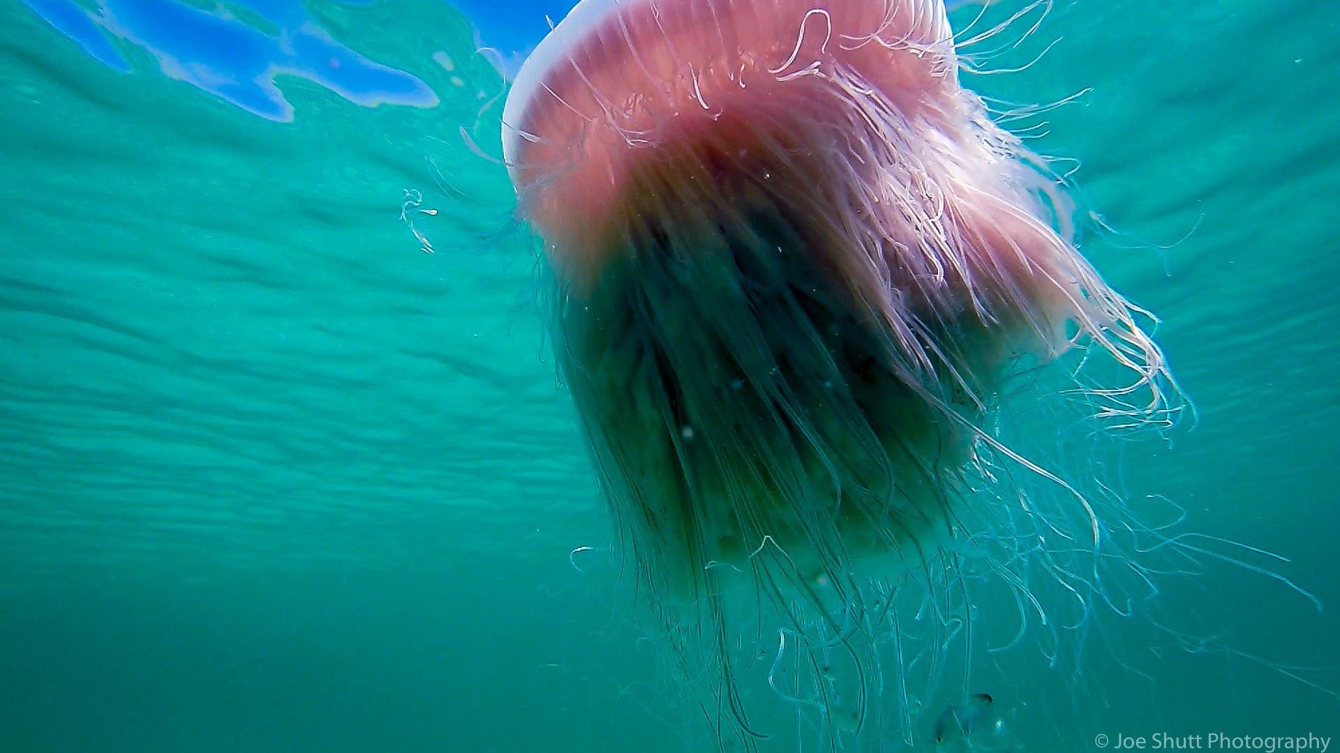 Jellyfish_2016-33