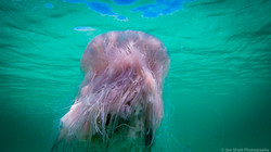 Jellyfish_2016-26