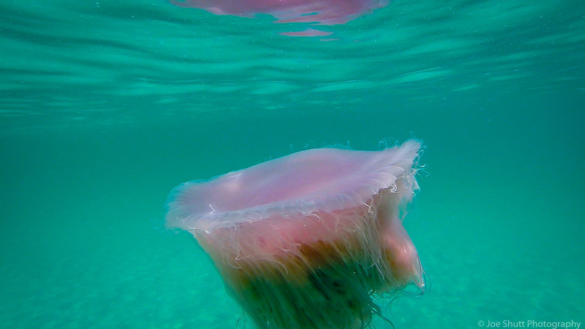 Jellyfish_2016-45