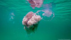 Jellyfish_2016-83