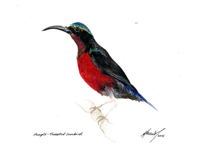 Purple-throated Sunbird (2015)