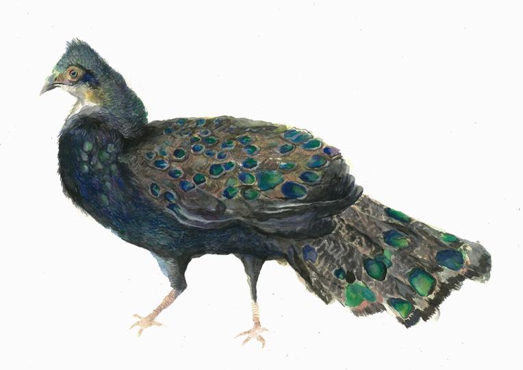 Borneo Peacock Side (2014).jpg