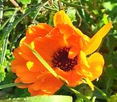 fleur calendula.PNG
