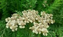 fleur_achillée.PNG