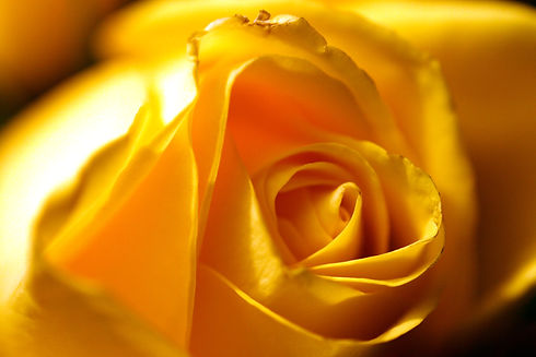 Rose_Yellow02_edited.jpg