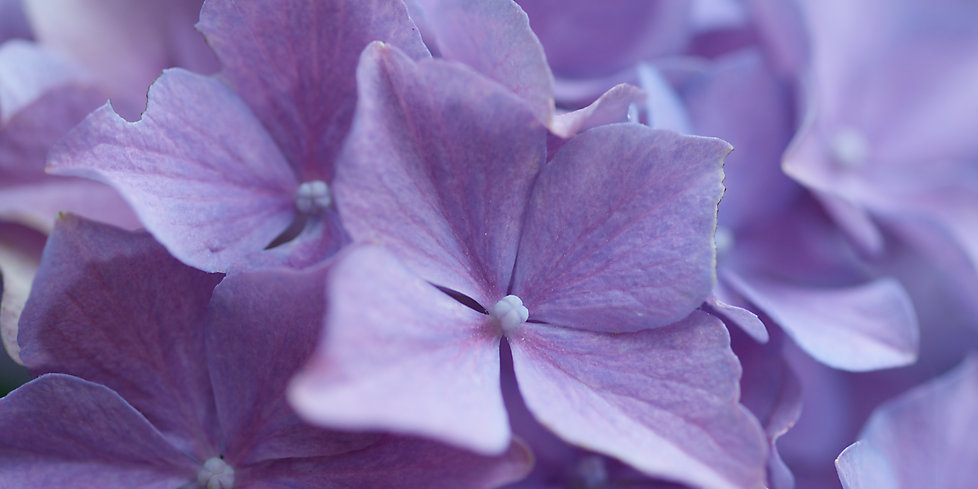 Mauve Blumen.jpg