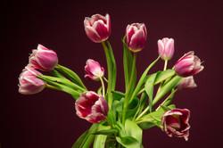 Mauve Tulpen