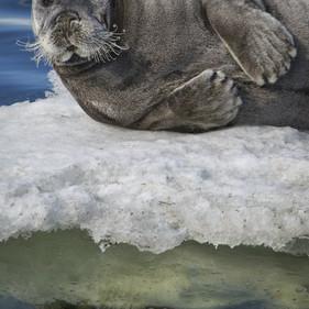 морской заяц, лахтак.jpg