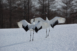 Mating Dance of the Red Crowned Cranes, Hokkaido