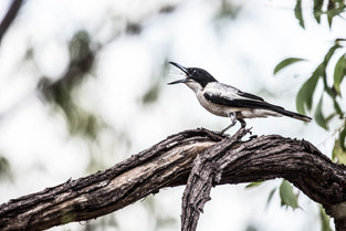 Butcher Bird almost choked on a Cicada, Northern Territory