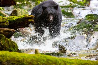 Black Bear Chasing Salmon, Bella Bella, British Columbia, Canada