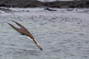 blue footed boobie diving for food, Galapagos