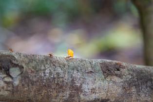 Leaf Cutting Ant, Costa Rica