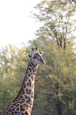 Giraffe, Luanga National Park