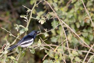 Black Headed Cukoo Shrike, Bharatpur Bird Park, India