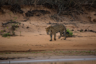 Jaquar looking for a drink, Pantanal, Brazil