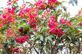 Rainbow Lorriket enjoying the Nectar of the Red Gum, Sydney, New South Wales